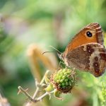 butterfly on a ripening berry
